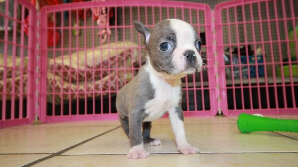 Gorgeous Rare Blue Boston Terrier Puppies For Sale