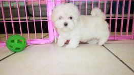 Teacup Maltese Puppies For Sale near Alpharetta, Ga