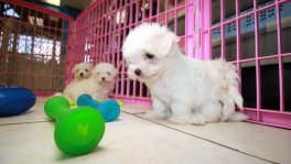 Teacup Maltese Puppies For Sale near Warner Robins, Ga