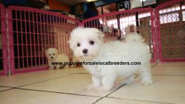 Teacup Maltese Puppies For Sale near Albany, Ga