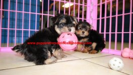 Teacup Toy Yorkie Puppies For Sale near Newnan, Ga