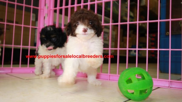 Pretty Parti Color Toy Poodle Puppies For Sale Georgia Local Breeders Near Atlanta Ga At