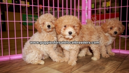 Toy Poodle Puppies For Sale Georgia