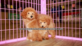 Mini Goldendoodle Puppies For Sale Georgia