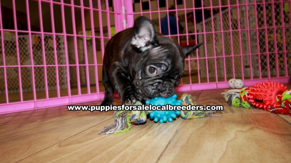 Brindle French Bulldog Puppies For Sale Georgia