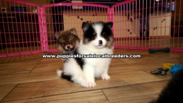 Small Pomeranian Puppies for sale Ga