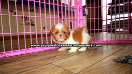 Small Shih Tzu Puppies For Sale Georgia