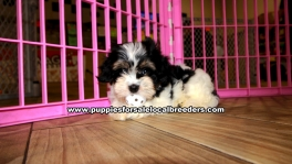 Tri Color Cavachon Puppies For Sale Georgia