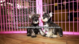 Salt & Pepper Mini Schnauzer Puppies For Sale Georgia