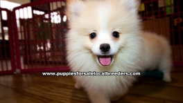 Cream Pomeranian Puppies For Sale Georgia