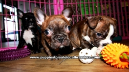 Brindle Frenchton Puppies For Sale Georgia