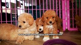 Apricot Toy Poodle Puppies For Sale Georgia Atlanta
