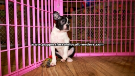 Boston Terrier Puppies for sale Atlanta Ga