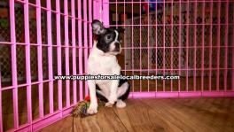 Boston Terrier Puppies for sale Atlanta Ga