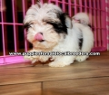 Small Morkie Puppies For Sale Georgia