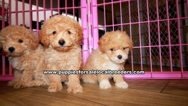 Apricot Toy Poodle Puppies for sale Ga