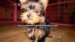 Yorkie Puppies for sale Ga Atlanta