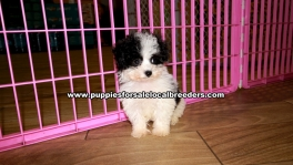 Malti Poo Puppies For Sale Georgia
