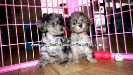 Rare Merle Malti Poo Puppies For Sale Georgia