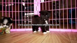 Small Pomeranian Puppies for sale Atlanta Ga
