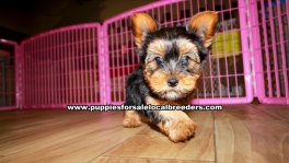 Yorkie Puppies for sale Atlanta Ga