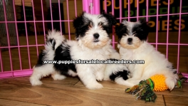 Morkie Puppies For Sale Georgia Atlanta