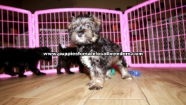 Merle Schnoodle Puppies For Sale Georgia