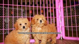 Poodle Puppies for sale Atlanta Ga