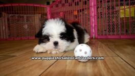 Shih Tzu Puppies For Sale Georgia Atlanta