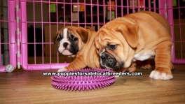 English Bulldog Puppies For Sale Georgia