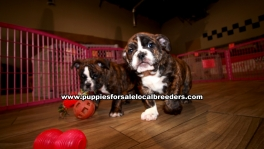 Brindle English Bulldog Puppies For Sale Georgia