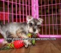 Mini Schnauzer Puppies For Sale Georgia
