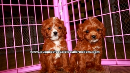 Cavapoo Puppies For Sale Georgia