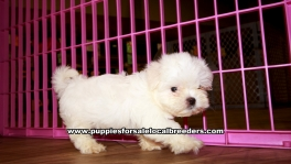 Maltese Puppies For Sale Georgia