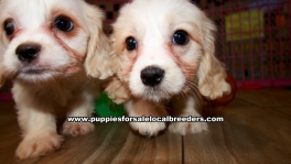 Cavachon Puppies For Sale Georgia