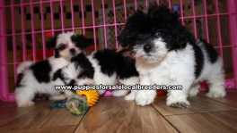 Morkie Puppies for sale Ga Atlanta