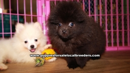 Little Pomeranian Puppies For Sale Georgia