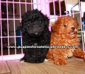 Little Poodle Puppies For Sale Georgia