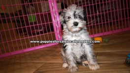 Pretty Merle Schnoodle Puppies For Sale Georgia