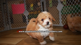 Red Bichon Poo Puppies For Sale Georgia