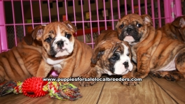 Brindle English Bulldog Puppies For Sale Georgia Atlanta