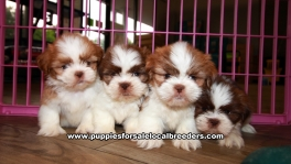 Tiny Shih Tzu Puppies For Sale Georgia