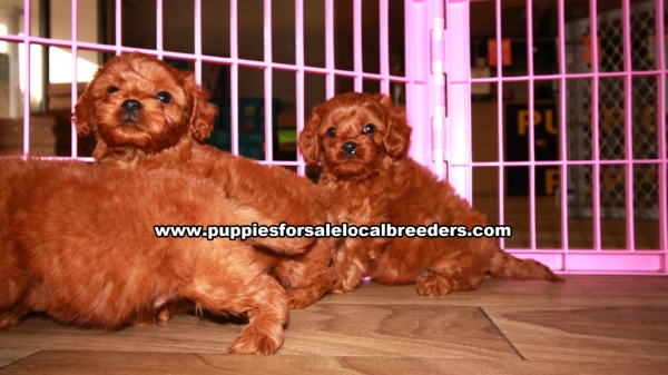 Tiny Cavapoo Puppies For Sale Georgia