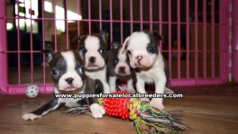 Small Blue Boston Terrier Puppies For Sale Georgia