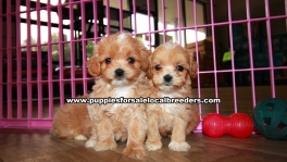 Tiny Apricot Maltipooo Puppies For Sale Georgia