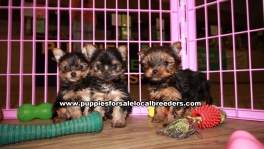 Little Yorkie Puppies For Sale Georgia
