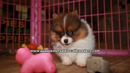 Beautiful Pomeranian Puppies For Sale Georgia