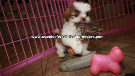Little Shih Tzu Puppies For Sale Georgia