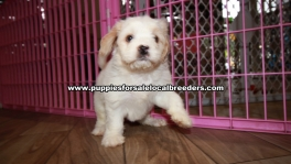 Pretty Cavachon Puppies For Sale Georgia