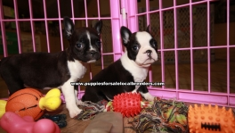 Adorable Frenchton Puppies For Sale Georgia